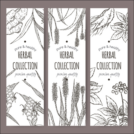 ginger flower plant: Set of three vector herbal tea labels with ginger, aloe and ginseng hand drawn sketch. Placed on white background.