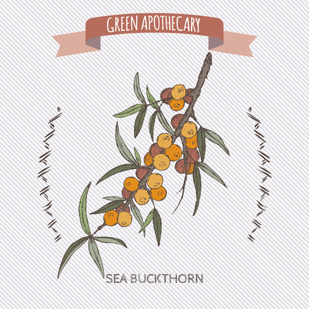 apothecary: Common sea buckthorn color sketch. Green apothecary series. Great for traditional medicine, gardening or cooking design. Illustration