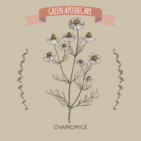 camomile tea: Color matricaria chamomilla aka chamomile sketch. Green apothecary series. Great for traditional medicine, gardening or cooking design.