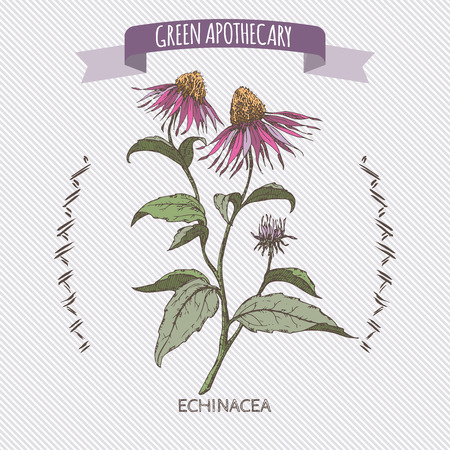 apothecary: Color Echinacea aka purple coneflower sketch. Green apothecary series. Great for traditional or Ayurvedic medicine design.