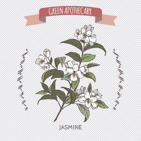 in common: Color Jasminum officinale aka common jasmine sketch. Green apothecary series. Great for traditional medicine, cooking or gardening. Illustration