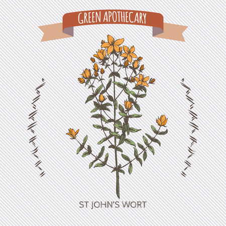 john: Color Hypericum perforatum aka common Saint John wort sketch. Green apothecary series. Great for traditional medicine, gardening or cooking design.