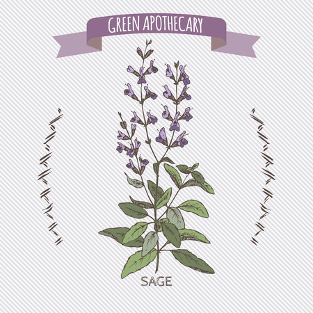 apothecary: Color salvia officinalis aka common sage sketch. Green apothecary series. Great for traditional medicine, cooking or gardening. Illustration
