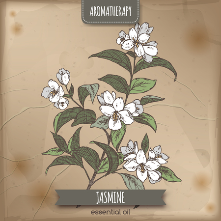 flower designs: Jasminum officinale aka common jasmine color sketch on vintage paper background. Aromatherapy series. Great for traditional medicine, perfume design, cooking or gardening.