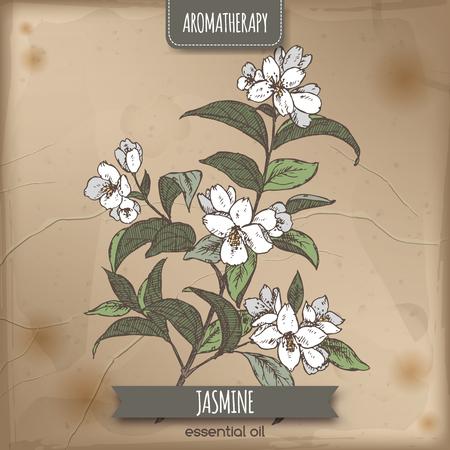 Jasminum officinale aka gemeenschappelijke jasmijn kleur schets op vintage papier achtergrond. Aromatherapie serie. Zeer geschikt voor de traditionele geneeskunde, parfum ontwerp, koken of tuinieren. Vector Illustratie