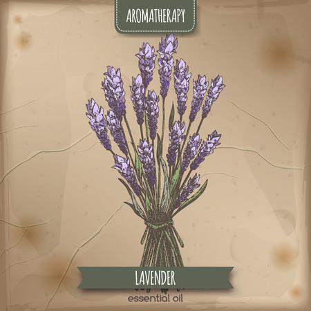 ラベンダー油別名一般的なラベンダー カラーはビンテージ紙の背景にスケッチします。アロマセラピー シリーズ。伝統的な医学、香水のデザインや