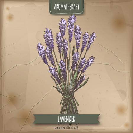 Lavandula angustifolia aka common lavender color sketch on vintage paper background. Aromatherapy series. Great for traditional medicine, perfume design or gardening.