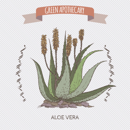 aloe vera plant: Color Aloe Vera flower and plant sketch. Green apothecary series. Great for traditional or Ayurvedic medicine design.