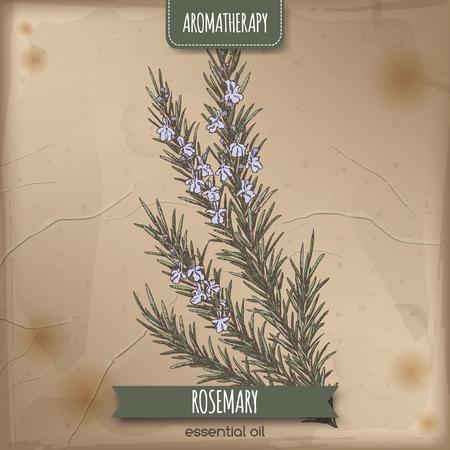 Farbe Rosmarinus officinalis aka Rosmarin Skizze auf Vintage-Papier Hintergrund. Aromatherapie-Reihe. Groß für die traditionelle Medizin, Parfüm Design, Kochen oder Gartenarbeit.