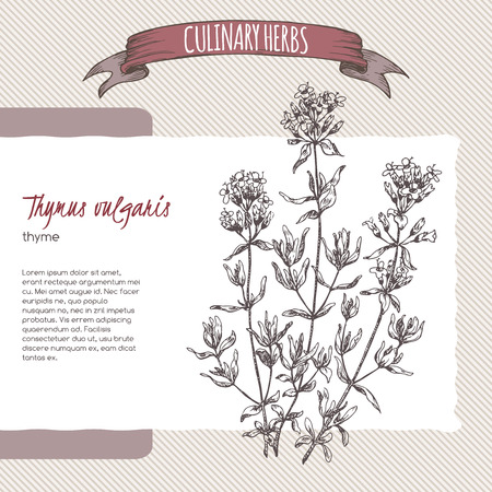 thymus: Thymus vulgaris aka Thyme vector hand drawn sketch. Culinary herbs collection. Great for cooking, medical, gardening design.