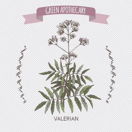 officinalis: Valeriana officinalis aka Valerian color sketch. Green apothecary series. Great for traditional medicine, or gardening.