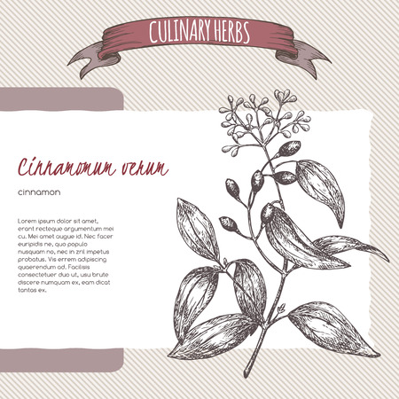 cinnamomum: Cinnamomum verum aka cinnamon vector hand drawn sketch. Culinary herbs collection. Great for traditional medicine, perfume design, cooking or gardening. Illustration