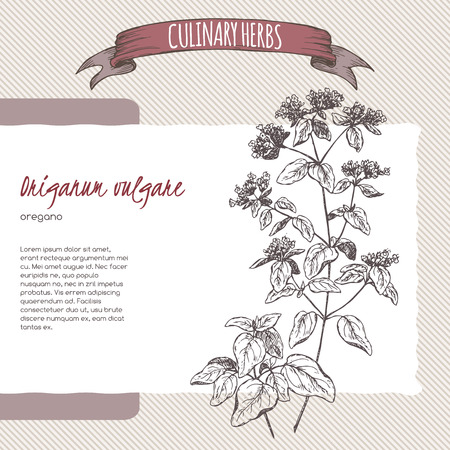 Origanum vulgare aka Oregano hand drawn sketch. Culinary herbs collection. Great for cooking, medical, gardening design.