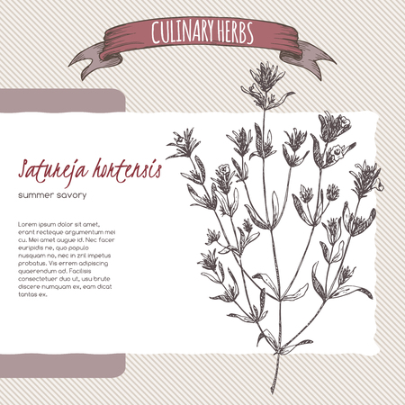 savory: Satureja hortensis aka summer savory hand drawn sketch. Culinary herbs collection. Great for cooking, medical, gardening design.