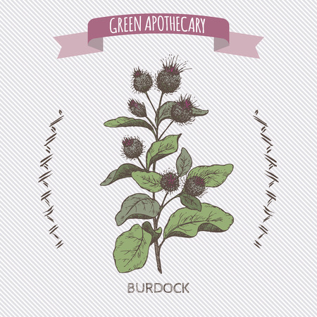 greater: Color Arctium lappa aka greater burdock sketch. Green apothecary series. Great for traditional medicine, cooking or gardening. Illustration