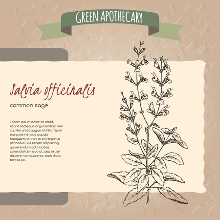 officinalis: Salvia officinalis aka common sage sketch. Green apothecary series. Great for traditional medicine, cooking or gardening. Illustration