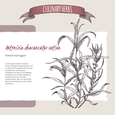 tarragon: Artemisia dracunculus sativa aka French tarragon vector hand drawn sketch. Culinary herbs collection. Great for cooking, medical, gardening design. Illustration