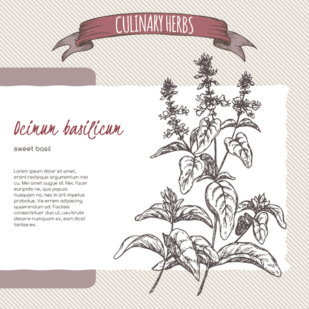 Ocimum basilicum aka Sweet basil vector hand drawn sketch. Culinary herbs collection. Great for cooking, medical, gardening design.