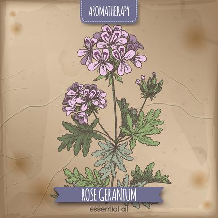 hedge: Pelargonium graveolens aka rose geranium color sketch on vintage background. Aromatherapy series. Great for traditional medicine, perfume design, cooking or gardening.