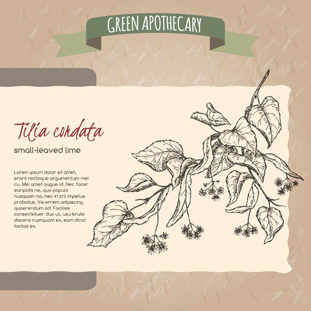 leaved: Tilia cordata aka small leaved lime or linden sketch. Green apothecary series. Great for traditional medicine, gardening or cooking design.