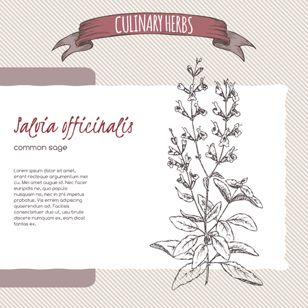 salvia: Salvia officinalis aka common sage sketch. Culinary herbs series. Great for traditional medicine, cooking or gardening.