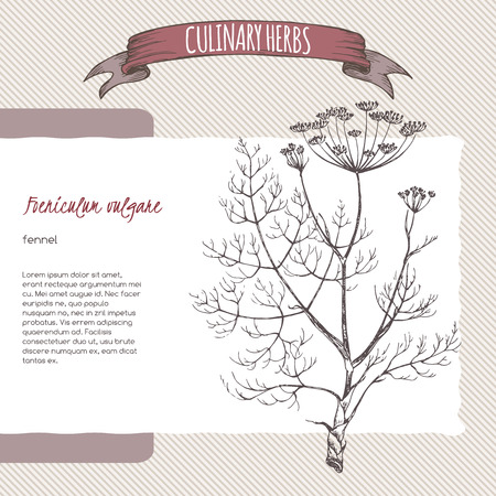 foeniculum: Foeniculum vulgare aka fennel vector hand drawn sketch. Culinary herbs collection. Great for cooking, medical, gardening design. Illustration