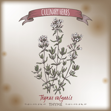 thymus: Thymus vulgaris aka Thyme vector color hand drawn sketch placed on old paper bakground. Culinary herbs collection. Great for cooking, medical, gardening design.