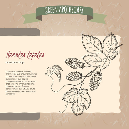 common hop: Humulus lupulus aka common hop sketch. Green apothecary series. Great for traditional medicine, gardening or cooking design. Stock Photo
