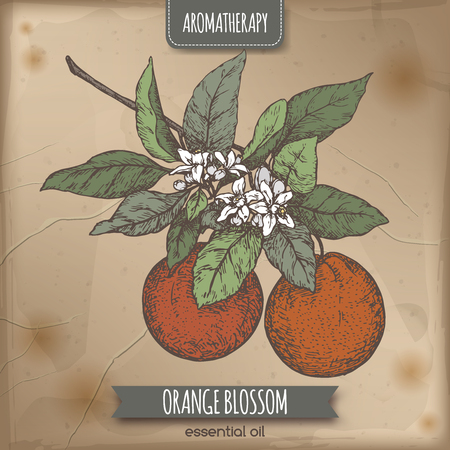 orange blossom: Color orange blossom sketch on vintage background. Aromatherapy series. Great for traditional medicine, perfume design, cooking or gardening.