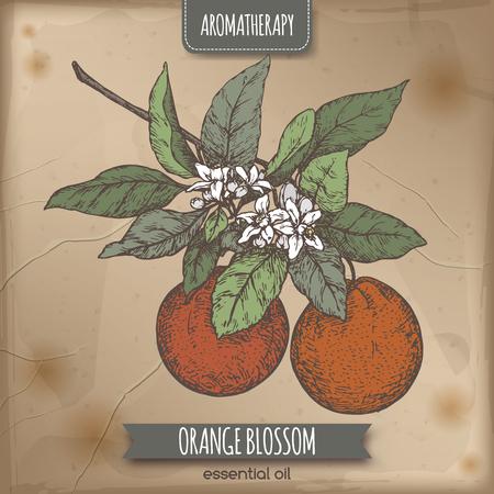 Schizzo di colore di fiori d'arancio su sfondo vintage. Serie aromaterapia. Grande per la medicina tradizionale, disegno del profumo, la cucina o il giardinaggio.