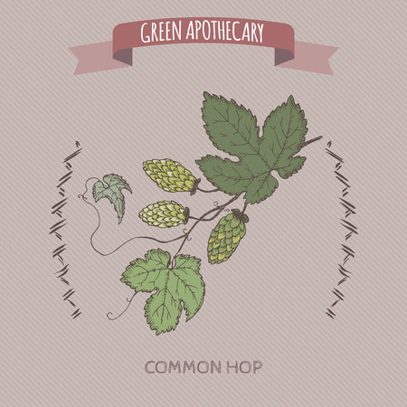 common hop: Humulus lupulus aka common hop color sketch. Green apothecary series. Great for traditional medicine, gardening or cooking design.