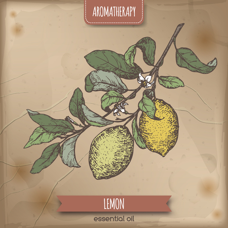 limon: Citrus limon aka lemon branch color sketch on vintage background. Aromatherapy series. Great for traditional medicine, perfume design, cooking or gardening.