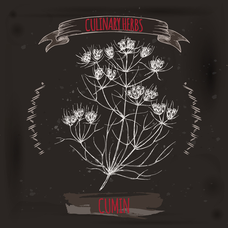 Cuminum cyminum aka Cumin vector hand drawn sketch on grunge black background. Culinary herbs collection. Great for cooking, medical, gardening design