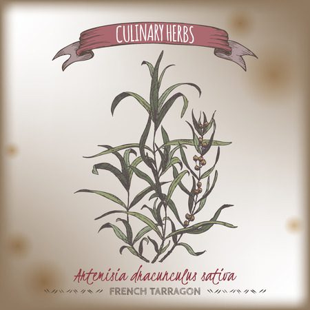 tarragon: Artemisia dracunculus sativa aka French tarragon color vector hand drawn sketch on vintage background. Culinary herbs collection. Great for cooking, medical, gardening design. Illustration