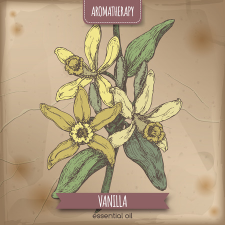 Color Vanilla vector hand drawn sketch on vintage background.