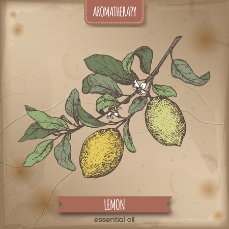limon: Citrus limon aka lemon branch color sketch on vintage background.