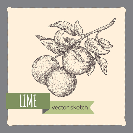Fresh lime fruits on a branch hand drawn sketch.