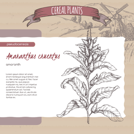Amaranthus cruentus aka amaranth sketch. Cereal plants collection.