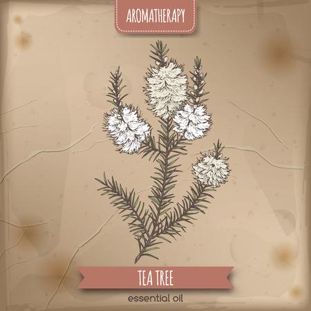Melaleuca alternifolia aka tea tree branch color sketch on vintage background. Great for traditional medicine, perfume design, cooking or gardening. Illustration