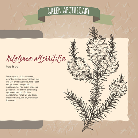 Melaleuca alternifolia aka tea tree h. Green apothecary series. Great for traditional medicine, gardening or cooking design.