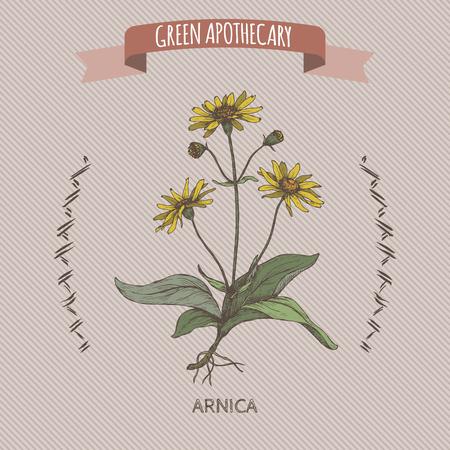 Arnica montana aka mountain tobacco or mountain arnica color sketch. Green apothecary series. Great for traditional medicine, or gardening.