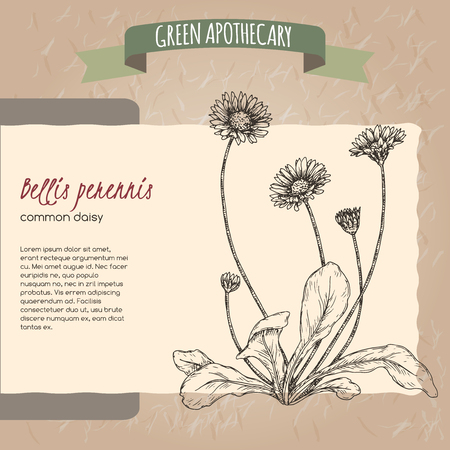 Bellis perennis aka daisy sketch. Green apothecary series. Great for traditional medicine, or gardening.