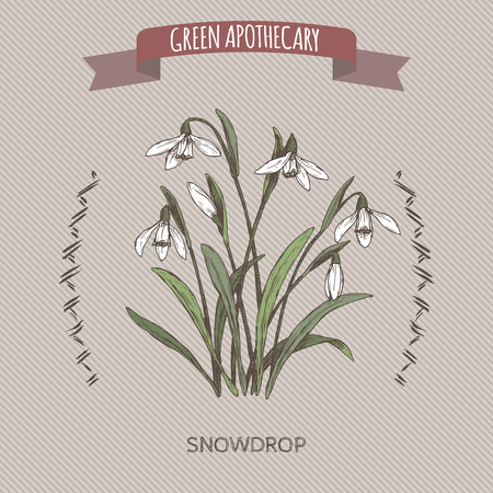 Galanthus nivalis aka snowdrop color sketch. Green apothecary series. Great for traditional medicine, or gardening.