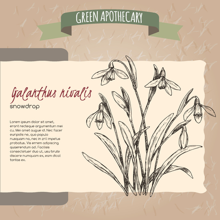 Galanthus nivalis aka snowdrop sketch. Green apothecary series. Great for traditional medicine, or gardening.