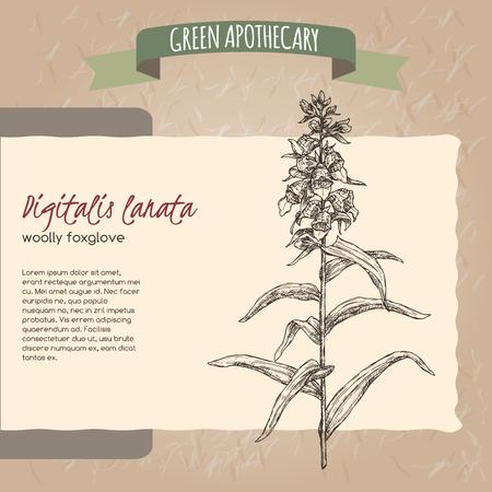 Digitalis lanata aka woolly foxglove sketch. Green apothecary series. Great for traditional medicine, or gardening.