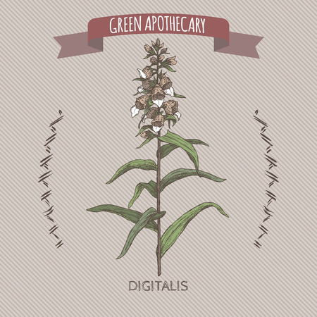 Digitalis lanata aka woolly foxglove color sketch. Green apothecary series. Great for traditional medicine, or gardening.