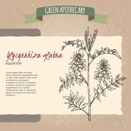 Glycyrrhiza glabra aka liquorice sketch. Green apothecary series. Great for traditional medicine, or gardening.  イラスト・ベクター素材