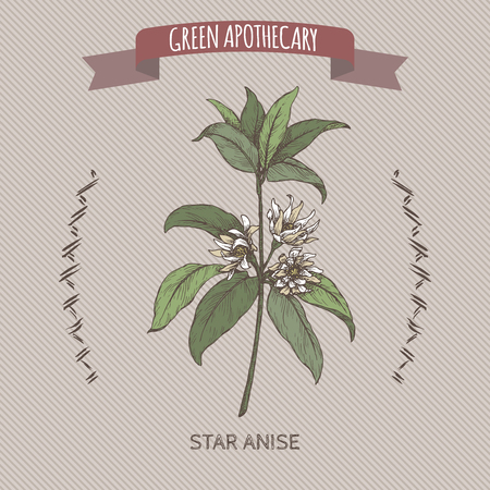 Illicium verum aka star anise or badiane sketch. Green apothecary series. Great for traditional medicine, or gardening.