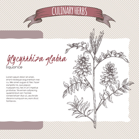 Glycyrrhiza glabra aka liquorice sketch. Culinary herbs series. Great for traditional medicine, gardening, cooking.  イラスト・ベクター素材