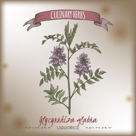 Glycyrrhiza glabra aka liquorice color sketch. Culinary herbs series.